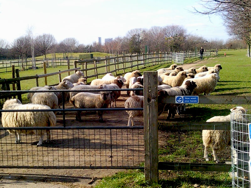 Mudchute-City-Farm-and-Park-Sheep