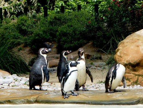 ZSL-London-Zoo-Penguins