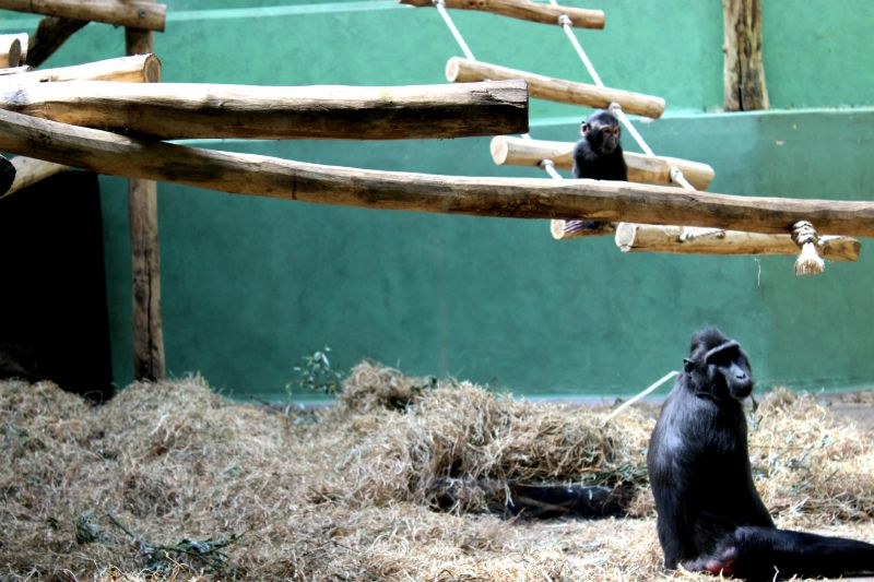 zoo antwerp baby chimp