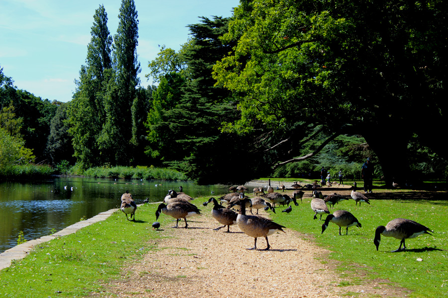Osterley-geese